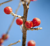 Red berry against a ice crystals. Close-up of red berry on twig in front of ice crystals royalty free stock photo