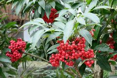 Red berry of ardisia crenata stock photo