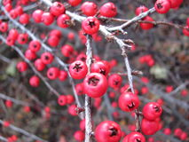Red berry. Autumn red berry on the branch Royalty Free Stock Photos