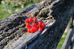 Red berry on the bark of a tree Stock Images