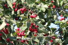 Red berry on branch. Appetizing ripe sweet wild hawtorn berry on branch in warm sunny autumn day stock photos