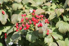 Red berry on branch. Appetizing ripe sweet wild hawtorn berry on branch in warm sunny autumn day royalty free stock image