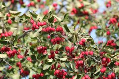 Red berry on branch. Appetizing ripe sweet wild hawtorn berry on branch in warm sunny autumn day stock images