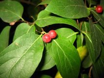 red-berry-bush Stock Photography
