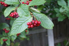 Red Berry Bush Stock Images