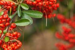 Red berry bush close up Stock Photos