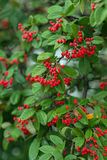 Red berry bush Stock Image