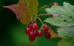 Red berry Stock Photography