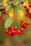 Red Berry Cluster Stock Image
