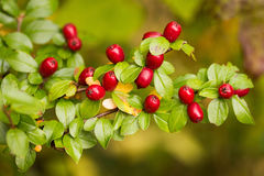 Red Berry Clusters Stock Photography