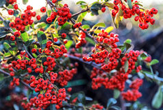 Red berry - Cotoneaster-lacteus royalty free stock photo