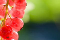 Red berry of currant. On a green background stock image