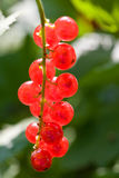 Red berry of currant Stock Photography