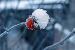 The red berry of the dog rose covered with crystals of white snow on a cold blurred background. royalty free stock image