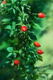 Autumn branches of a bush of a dogrose with red fruits Royalty Free Stock Photos