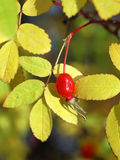 Red berry of a dogrose Stock Images