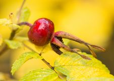Red berry of a dogrose Stock Photo