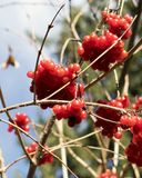 Red berry. Forest particular details three winter macro closeup Royalty Free Stock Photo