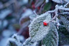 Red berry on frozen leaf. Piedmont, Northern Italy. Royalty Free Stock Photo