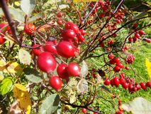 Red berry garden plant. Photographic image stock images
