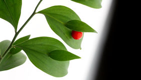Red berry on green brunch Stock Photography