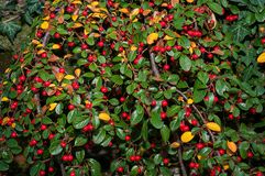 Red berry. With green leaves Stock Image