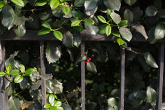 Red berry. Between green leaves on a railing Stock Photo