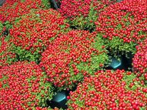 red berry heap with green leafs, nature, Royalty Free Stock Images