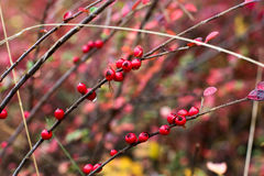 Red berry a lot. Wet red berry on a bush in autumn stock photos
