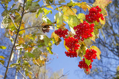 Red berry a mountain ash against the background of sky Royalty Free Stock Image