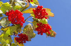 Red berry a mountain ash against the background of sky Stock Photography