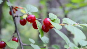 Red berry of nanking cherry, branch closeup, environment, stock video