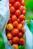 Red Berry Plant Stock Images