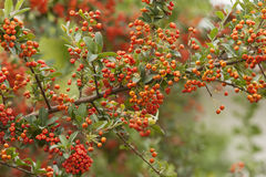 Red berry Stock Images