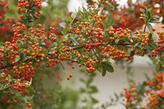Red berry. A plant tree with red fruit berry in Greece stock photography
