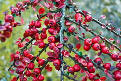 Red berry (plants) Royalty Free Stock Images