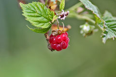 Red berry raspberry with green leaf, close-up.  Royalty Free Stock Photography