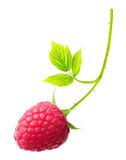 Red berry raspberry isolated Royalty Free Stock Image