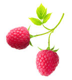 Red berry raspberry isolated Stock Photography