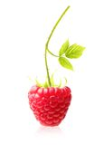 Red berry raspberry isolated Stock Photos