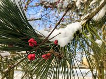 Red berry on a branch in the snow Royalty Free Stock Image