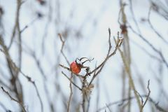 Red berry with spines on winter background. View Royalty Free Stock Images