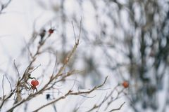 Red berry with spines on winter background. View Stock Photos