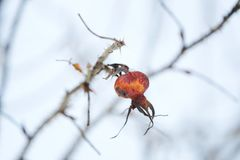Red berry with spines on winter background. View Royalty Free Stock Photo