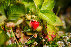 Red berry, a strawberry ripened on a bush in the field. Agriculture to plant berries royalty free stock photo