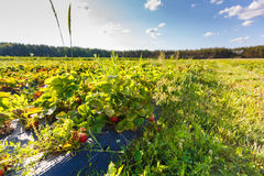 Red berry, a strawberry ripened on a bush in the field. Agriculture to plant berries Stock Image