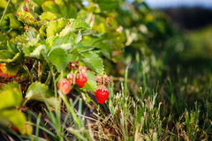 Red berry, a strawberry ripened on a bush in the field. Agriculture to plant berries Royalty Free Stock Photos