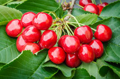 Red berry sweet cherry hanging on tree branch green leaves Stock Photography