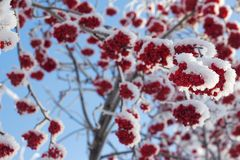 Red berry on a tree branch and snow Royalty Free Stock Photos