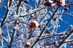 Red berry on a tree branch and snow Stock Photography
